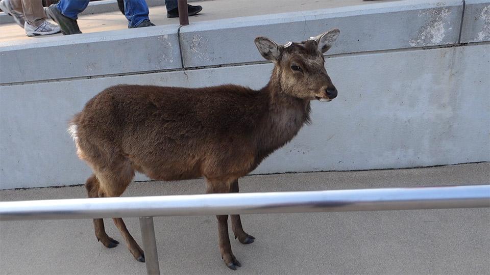 奈良の鹿の映像